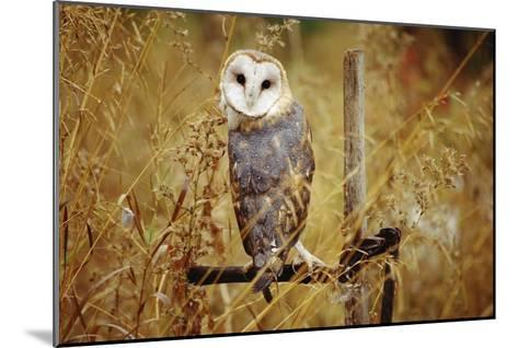 Barn Owl perching among dry grasses, British Columbia, Canada-Tim Fitzharris-Mounted Art Print