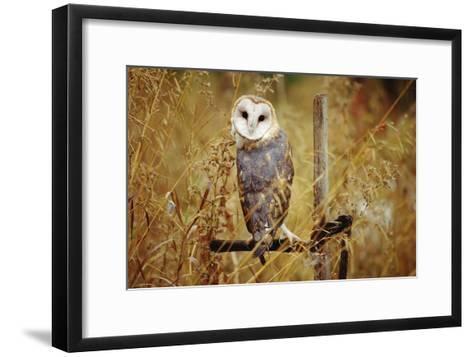 Barn Owl perching among dry grasses, British Columbia, Canada-Tim Fitzharris-Framed Art Print