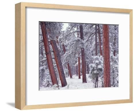Ponderosa Pines with snow, Grand Canyon National Park, Arizona-Tim Fitzharris-Framed Art Print