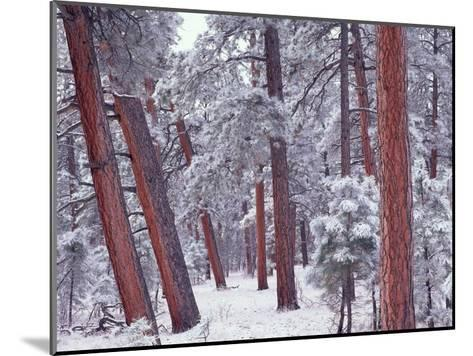 Ponderosa Pines with snow, Grand Canyon National Park, Arizona-Tim Fitzharris-Mounted Art Print