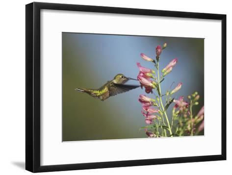 Broad-tailed Hummingbird juvenile feeding on flowers, New Mexico-Tim Fitzharris-Framed Art Print