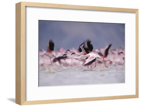 Lesser Flamingo flock taking flight from the surface of a lake, Kenya-Tim Fitzharris-Framed Art Print