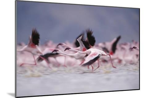 Lesser Flamingo flock taking flight from the surface of a lake, Kenya-Tim Fitzharris-Mounted Art Print