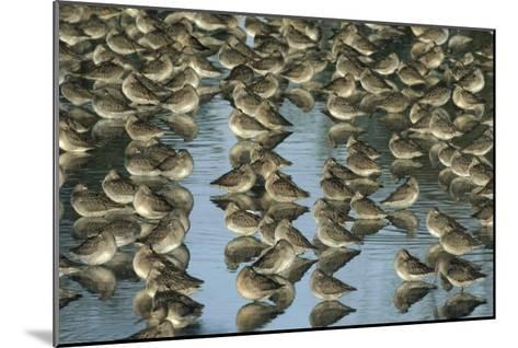Long-billed Dowitcher flock sleeping in shallow water, North America-Tim Fitzharris-Mounted Art Print