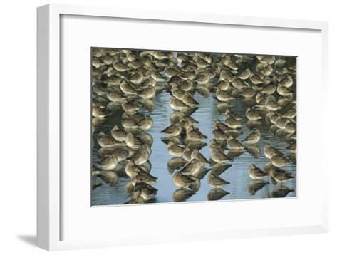 Long-billed Dowitcher flock sleeping in shallow water, North America-Tim Fitzharris-Framed Art Print