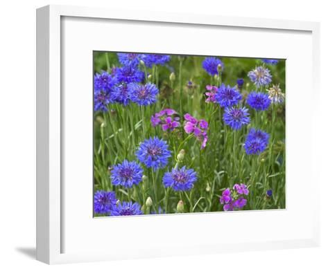 Cornflower and Pointed Phlox blooming in grassy field, North America-Tim Fitzharris-Framed Art Print