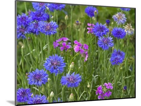 Cornflower and Pointed Phlox blooming in grassy field, North America-Tim Fitzharris-Mounted Art Print