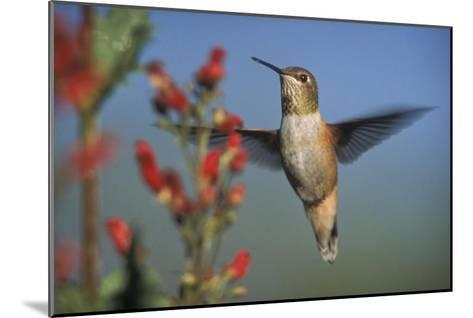 Rufous Hummingbird feeding on the nectar of a Desert Figwort New Mexico-Tim Fitzharris-Mounted Art Print