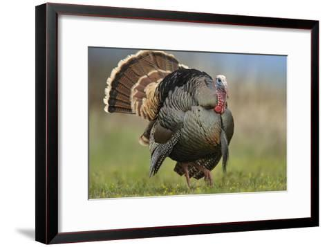 Wild Turkey male in courtship display, Palo Duro Canyon State Park, Texas-Tim Fitzharris-Framed Art Print