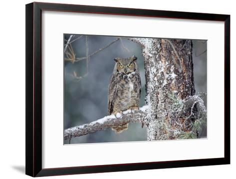 Great Horned Owl adult perching in a snow-covered tree, British Columbia, Canada-Tim Fitzharris-Framed Art Print