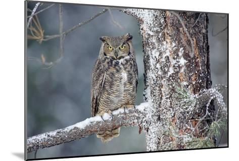 Great Horned Owl adult perching in a snow-covered tree, British Columbia, Canada-Tim Fitzharris-Mounted Art Print