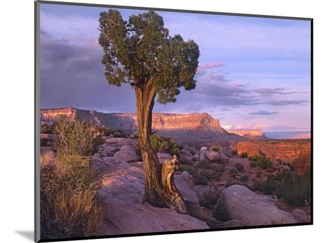 Single-leaf Pinyon Pine at Toroweap Overlook, Grand Canyon National Park, Arizona-Tim Fitzharris-Mounted Art Print