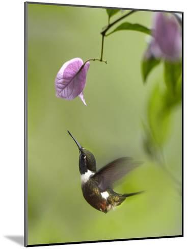 Purple-throated Woodstar hummingbird hovering near Bougainveillea flower, Ecuador-Tim Fitzharris-Mounted Art Print