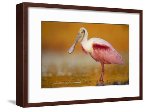 Roseate Spoonbill adult in breeding plumage standing in golden-colored water, North America-Tim Fitzharris-Framed Art Print