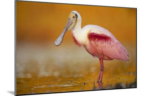 Roseate Spoonbill adult in breeding plumage standing in golden-colored water, North America-Tim Fitzharris-Mounted Art Print