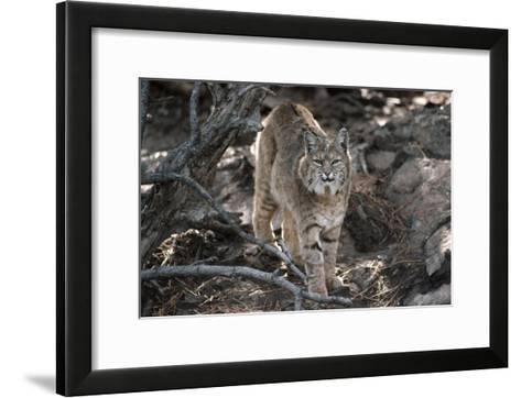 Bobcat adult portrait, Montana-Tim Fitzharris-Framed Art Print