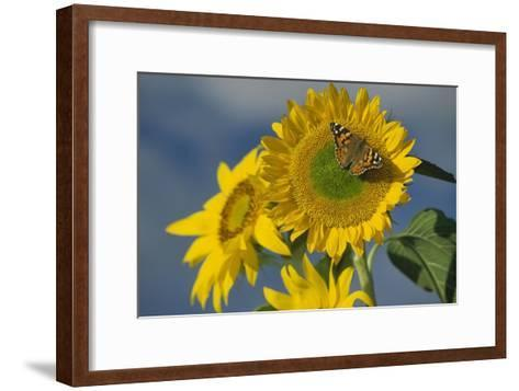 American Painted Lady butterfly on sunflower, New Mexico-Tim Fitzharris-Framed Art Print