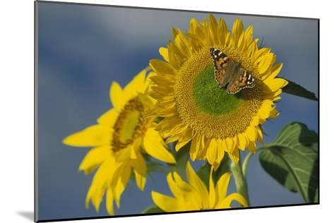 American Painted Lady butterfly on sunflower, New Mexico-Tim Fitzharris-Mounted Art Print
