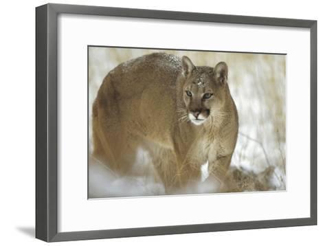 Mountain Lion portrait in winter, Montana-Tim Fitzharris-Framed Art Print