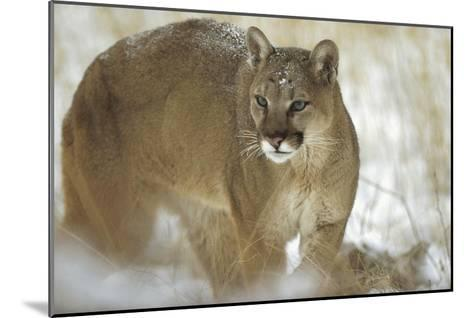 Mountain Lion portrait in winter, Montana-Tim Fitzharris-Mounted Art Print