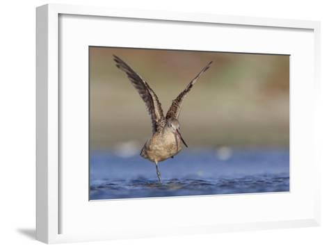 Marbled Godwit stretching its wings, North America-Tim Fitzharris-Framed Art Print