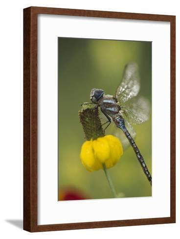 Southern Hawker Dragonfly on Prairie Coneflower , New Mexico-Tim Fitzharris-Framed Art Print