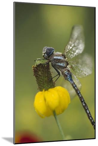 Southern Hawker Dragonfly on Prairie Coneflower , New Mexico-Tim Fitzharris-Mounted Art Print
