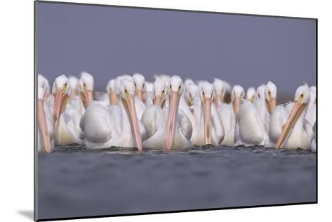 American White Pelican group, North America-Tim Fitzharris-Mounted Art Print