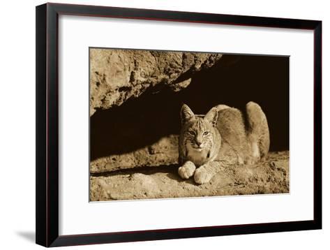 Bobcat adult resting on rock ledge, North America - Sepia-Tim Fitzharris-Framed Art Print
