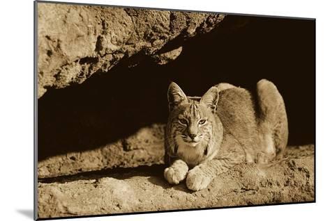 Bobcat adult resting on rock ledge, North America - Sepia-Tim Fitzharris-Mounted Art Print