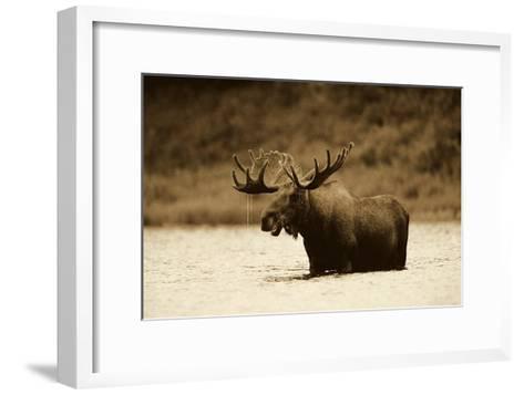 Moose male raising its head while feeding in lake, North America - Sepia-Tim Fitzharris-Framed Art Print