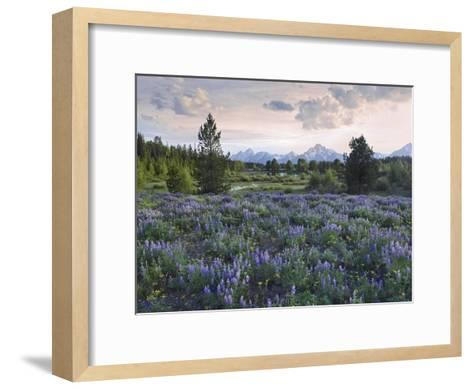 Lupine meadow, Grand Teton National Park, Wyoming-Tim Fitzharris-Framed Art Print