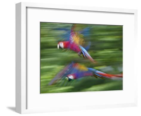 Scarlet Macaw pair flying, Costa Rica-Tim Fitzharris-Framed Art Print