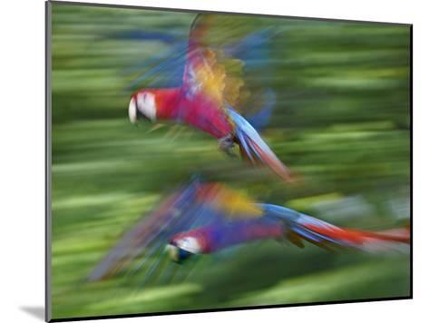 Scarlet Macaw pair flying, Costa Rica-Tim Fitzharris-Mounted Art Print