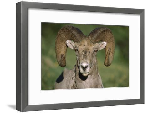 Bighorn Sheep close-up, North America-Tim Fitzharris-Framed Art Print