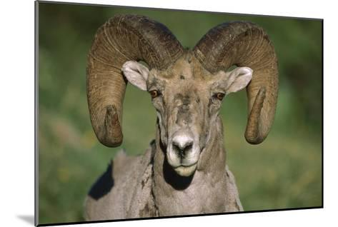 Bighorn Sheep close-up, North America-Tim Fitzharris-Mounted Art Print