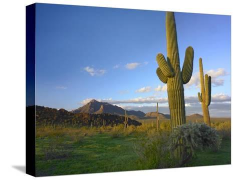Saguaro and Teddybear Cholla, Picacho Peak State Park, Arizona-Tim Fitzharris-Stretched Canvas Print