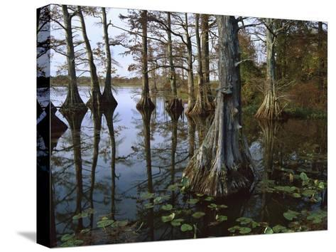 Bald Cypress at upper Blue Basin, Reelfoot National Wildlife Refuge, Tennessee-Tim Fitzharris-Stretched Canvas Print