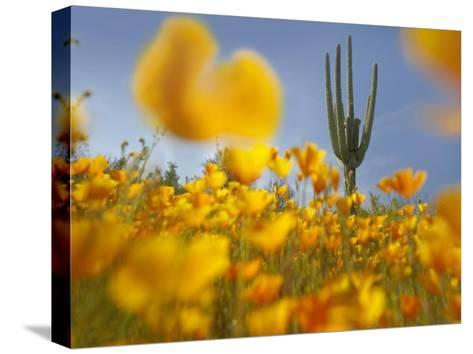 Saguaro cactus and California Poppy field at Gonzales Pass, Tonto National Forest, Arizona-Tim Fitzharris-Stretched Canvas Print