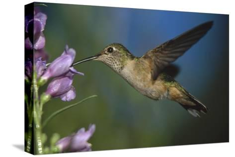 Broad-tailed Hummingbird feeding on the nectar of a Desert Penstemon flower, New Mexico-Tim Fitzharris-Stretched Canvas Print