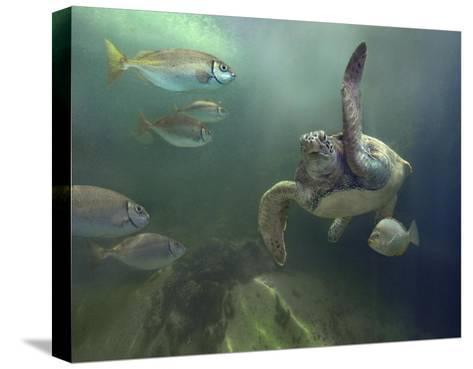 Green Sea Turtle and fish, Sabah, Malaysia-Tim Fitzharris-Stretched Canvas Print