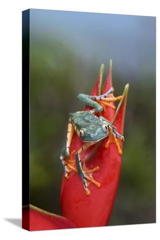 Tiger-striped Leaf Frog on Heliconia, Costa Rica-Tim Fitzharris-Stretched Canvas Print