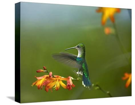 Green-crowned Woodnymph female landing, Ecuador-Tim Fitzharris-Stretched Canvas Print