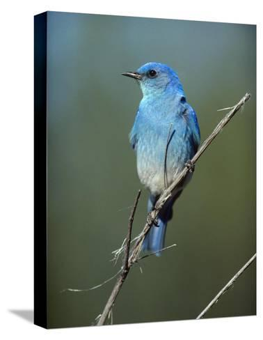 Mountain Bluebird perching on twig, North America-Tim Fitzharris-Stretched Canvas Print