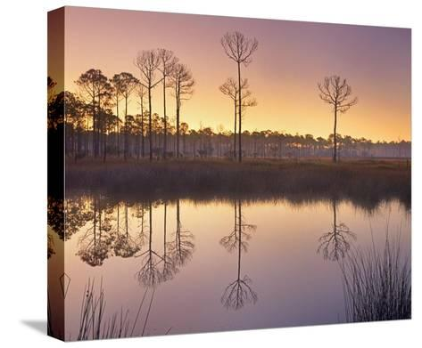 Pineland at Piney Point near Hagen's Cove, Florida-Tim Fitzharris-Stretched Canvas Print