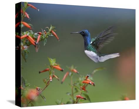 White-necked Jacobin hummingbird, male foraging, Costa Rica-Tim Fitzharris-Stretched Canvas Print