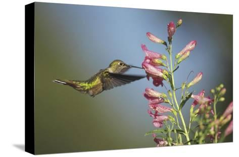 Broad-tailed Hummingbird juvenile feeding on flowers, New Mexico-Tim Fitzharris-Stretched Canvas Print
