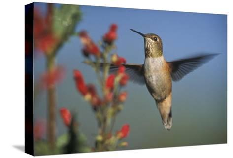 Rufous Hummingbird feeding on the nectar of a Desert Figwort New Mexico-Tim Fitzharris-Stretched Canvas Print