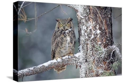 Great Horned Owl adult perching in a snow-covered tree, British Columbia, Canada-Tim Fitzharris-Stretched Canvas Print