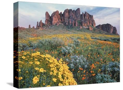 California Brittlebush Lost Dutchman State Park, Superstition Mountains, Arizona-Tim Fitzharris-Stretched Canvas Print